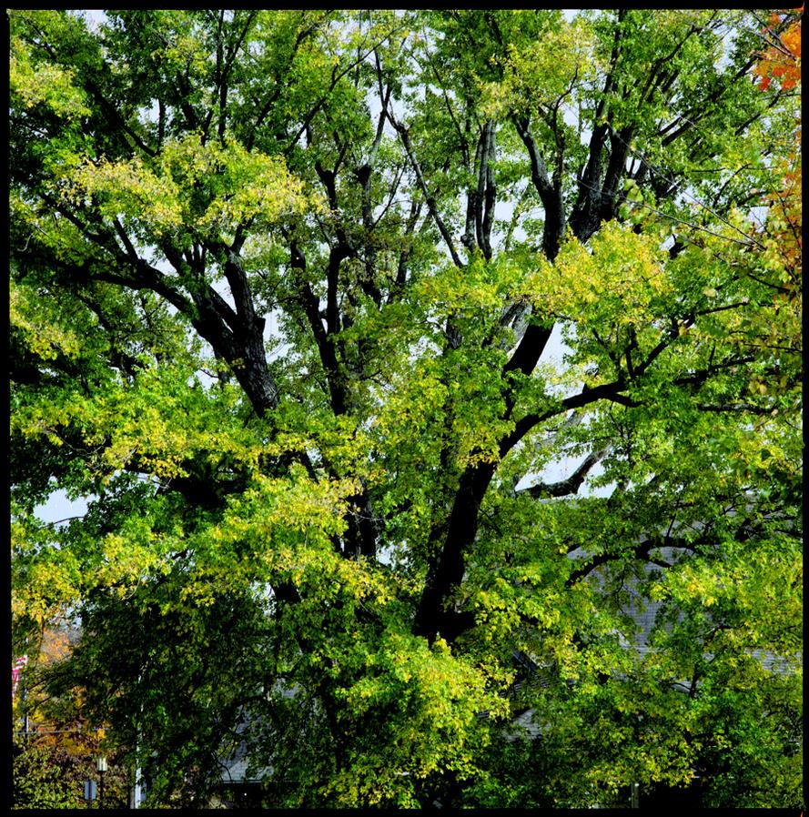 Oak tree in a square by harrietsfriend on deviantART