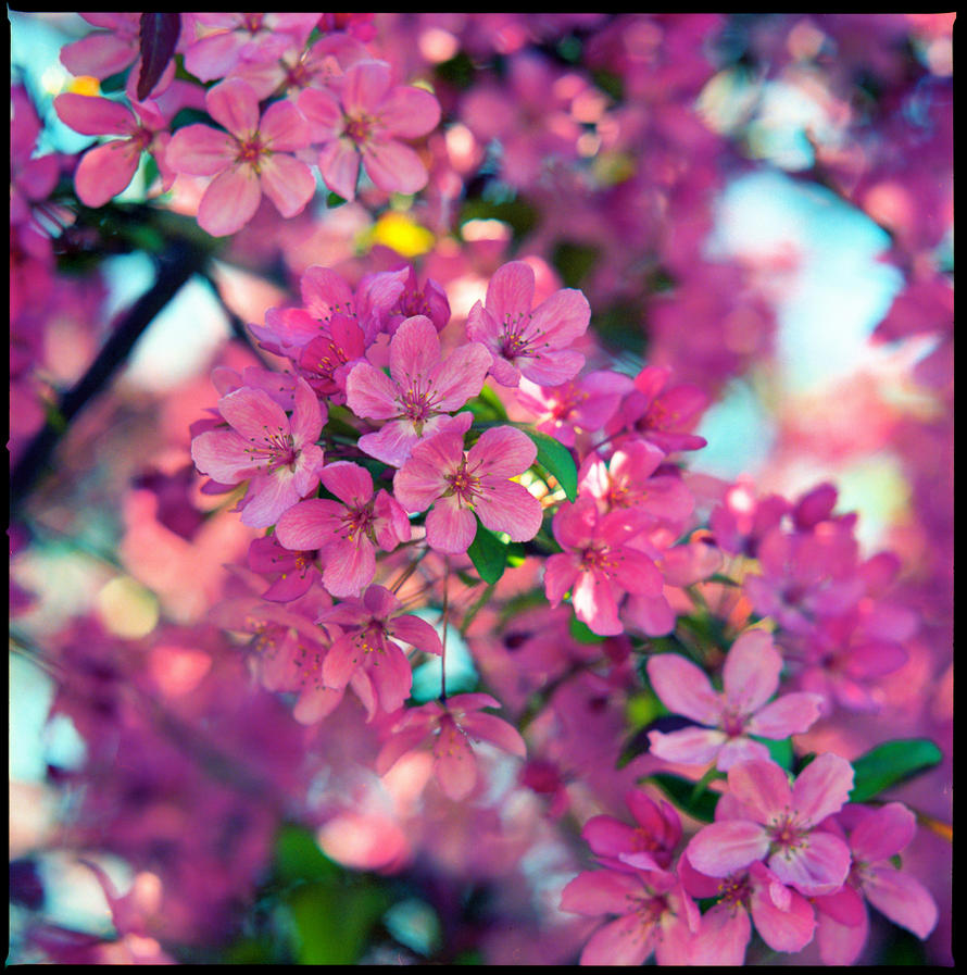Pink tree blossoms.img494 by harrietsfriend