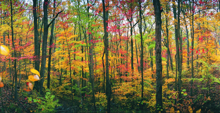 Forest panoramic, widedA.img596 1 1 by harrietsfriend