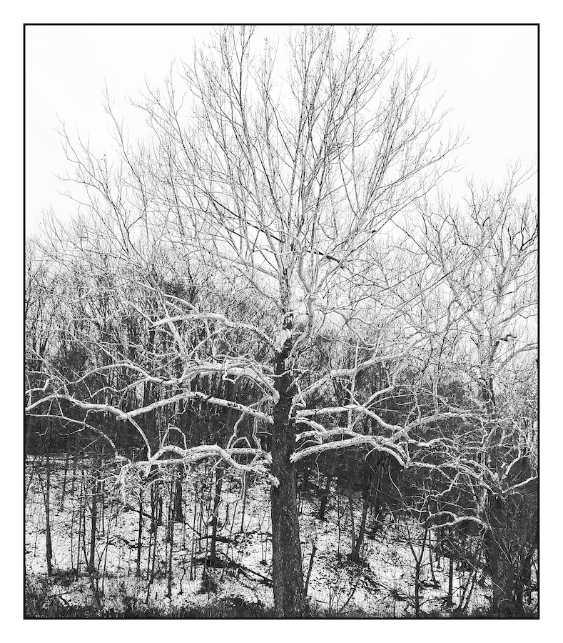 Winter tree.L1030064, with story by harrietsfriend