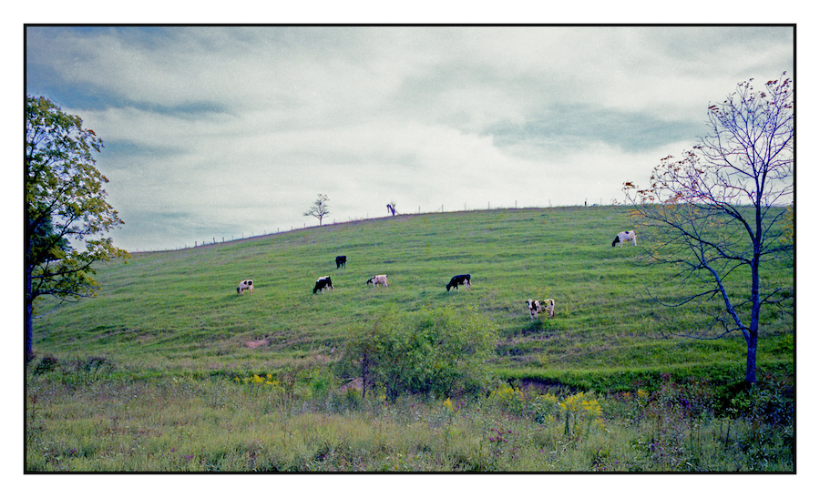 Cows.img426, with story by harrietsfriend