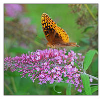Painted lady butterfly.800 0406, with story by harrietsfriend