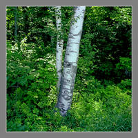Birch.img861, with story, a series by harrietsfriend