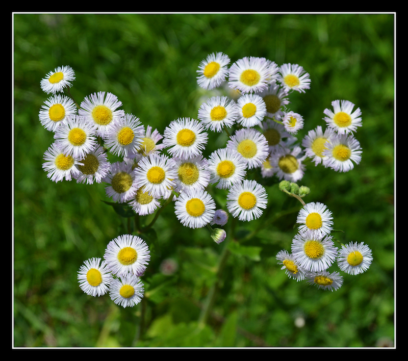 Daisies.800-1551, with story by harrietsfriend