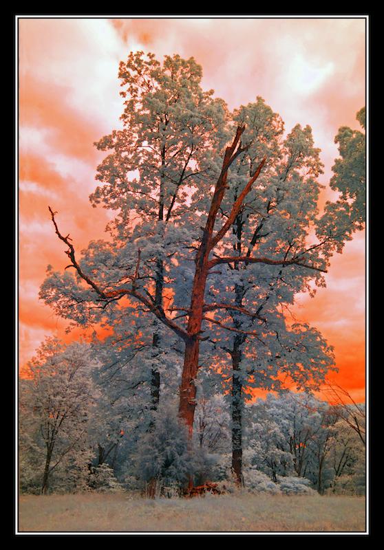 Roadside tree.IRD-200.1823, with story by harrietsfriend