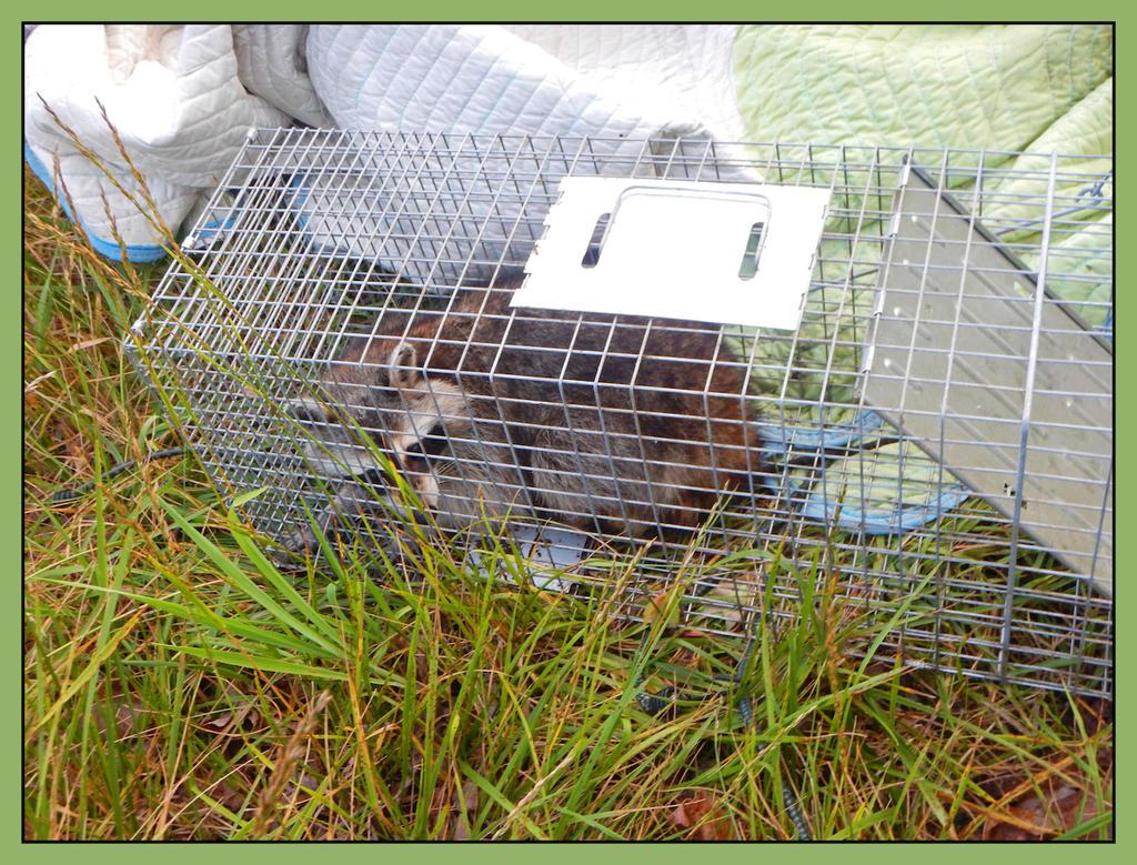 Raccoon.DSCN2898, with story by harrietsfriend