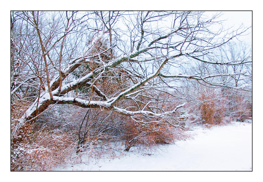 Snow tree's reach. L1010232, with story by harrietsfriend