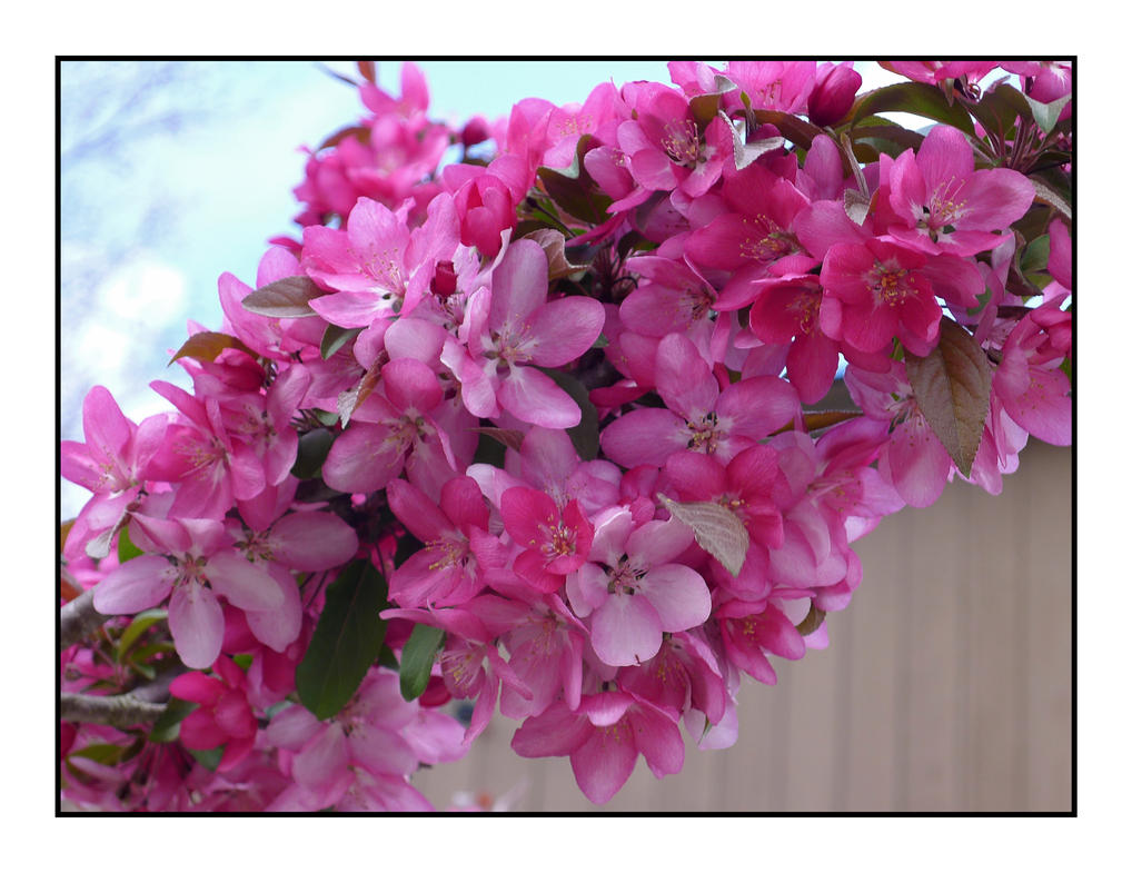 Pink blooms. L1040754, with story by harrietsfriend