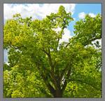 Ludlow street tree. 800 2462, with story