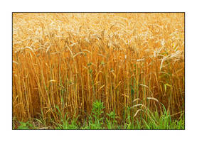 Wheat. DSCN0178, with story