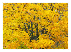 Yellow leaves. L1001090, with story by harrietsfriend