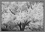 White tree. IRD200-1999, with story