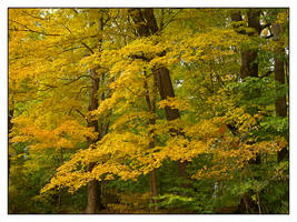 Yellow leaves, no breeze. L1000834, with story by harrietsfriend