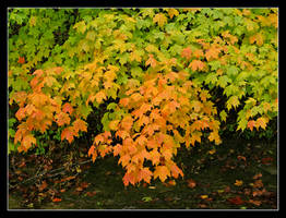 Fall leaves. L1040009, with story by harrietsfriend
