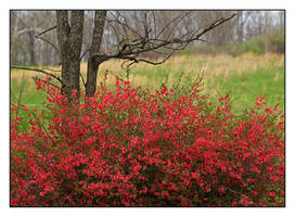 Red bush. L1001540, with story by harrietsfriend