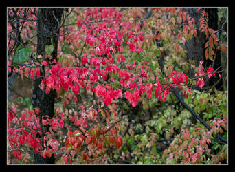 Red leaves. L1001088, with story by harrietsfriend