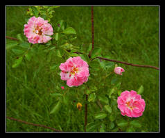 Wild roses. DSCN0920, with story by harrietsfriend