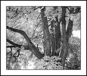 Tree trunks. IRD200-2081, with story