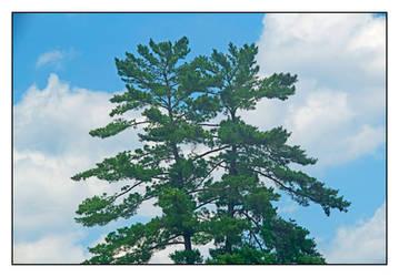 Treetops. L1001659