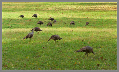 Wild turkeys. L1001963, with story by harrietsfriend