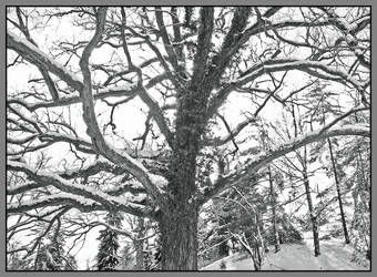Tree in snow. L1040211, with story by harrietsfriend