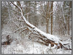 Fallen tree. DSCN5518, with story by harrietsfriend