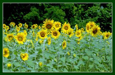 Sunflowers. img181