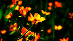 Beautiful frowers by Shiina-Sempai