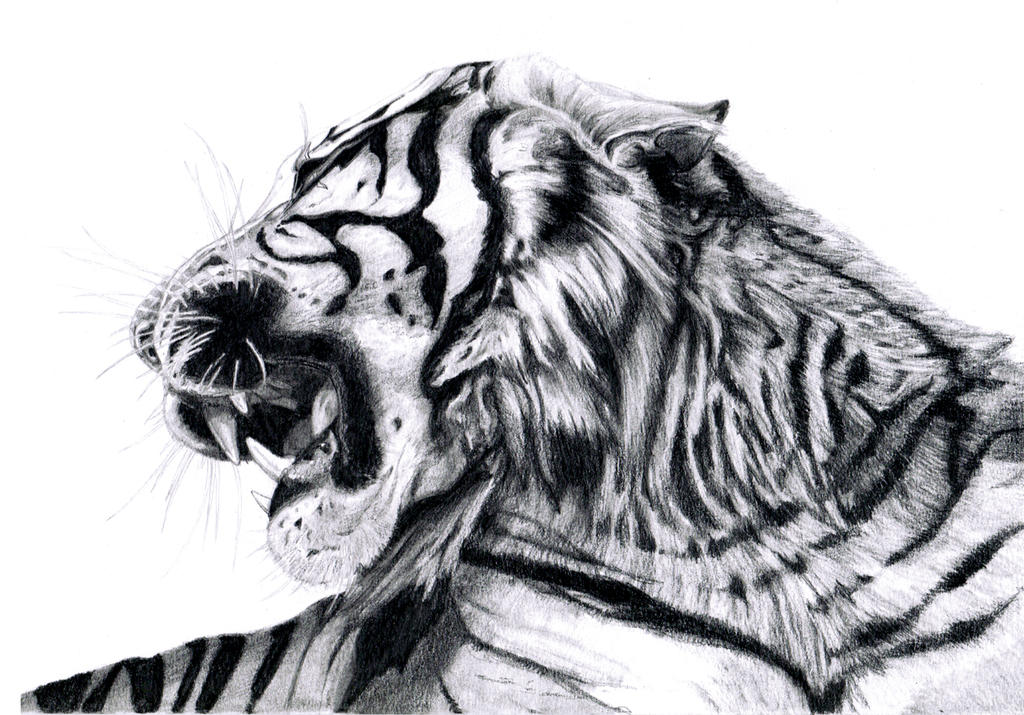 Tiger by Edryn83