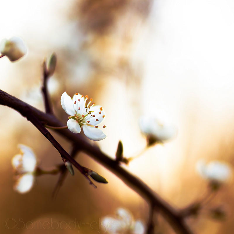 Les fleurs de Printemps . II by Somebody--else