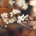 Les fleurs de Printemps . III