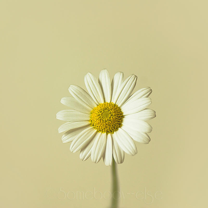 Perfect Daisy by Somebody--else