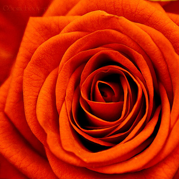 | OrangeRose | by Somebody--else