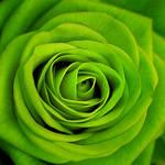 | GreenRose |