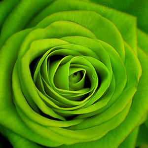   GreenRose   by Somebody--else