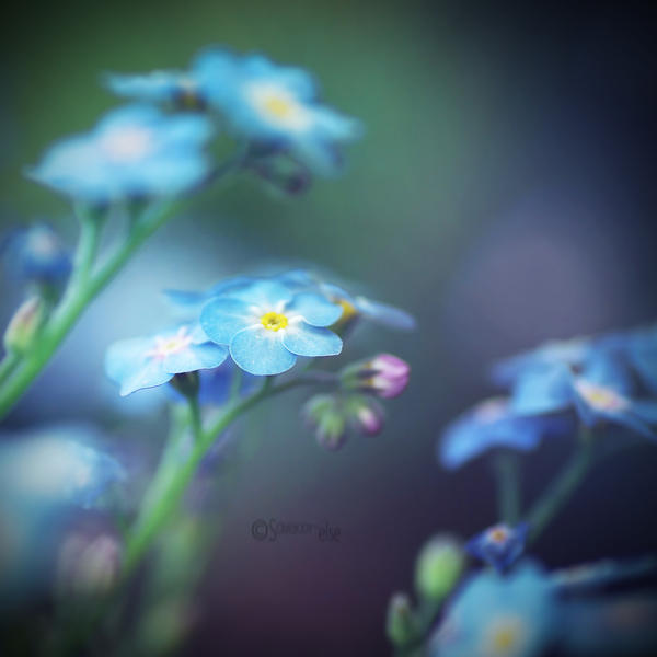 | forget me not | by Somebody--else