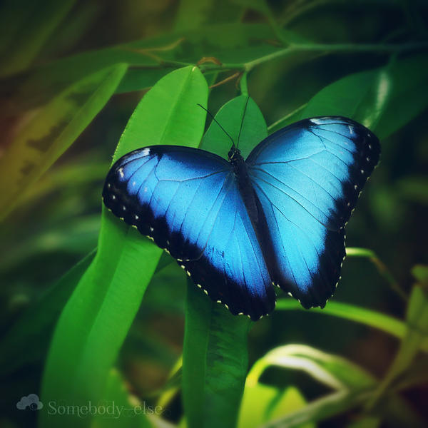 Morpho peleides by Somebody--else