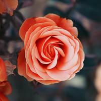 0483 - Rose