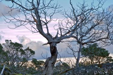 arbutus in garry oak ecosystem by Kekilen