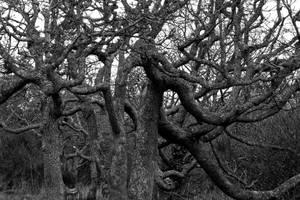 Garry oak 35 by Kekilen
