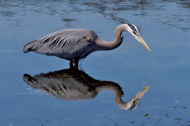 Great Blue Heron 4 by Kekilen