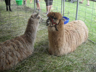Llamas by MyLoveForYouEternity