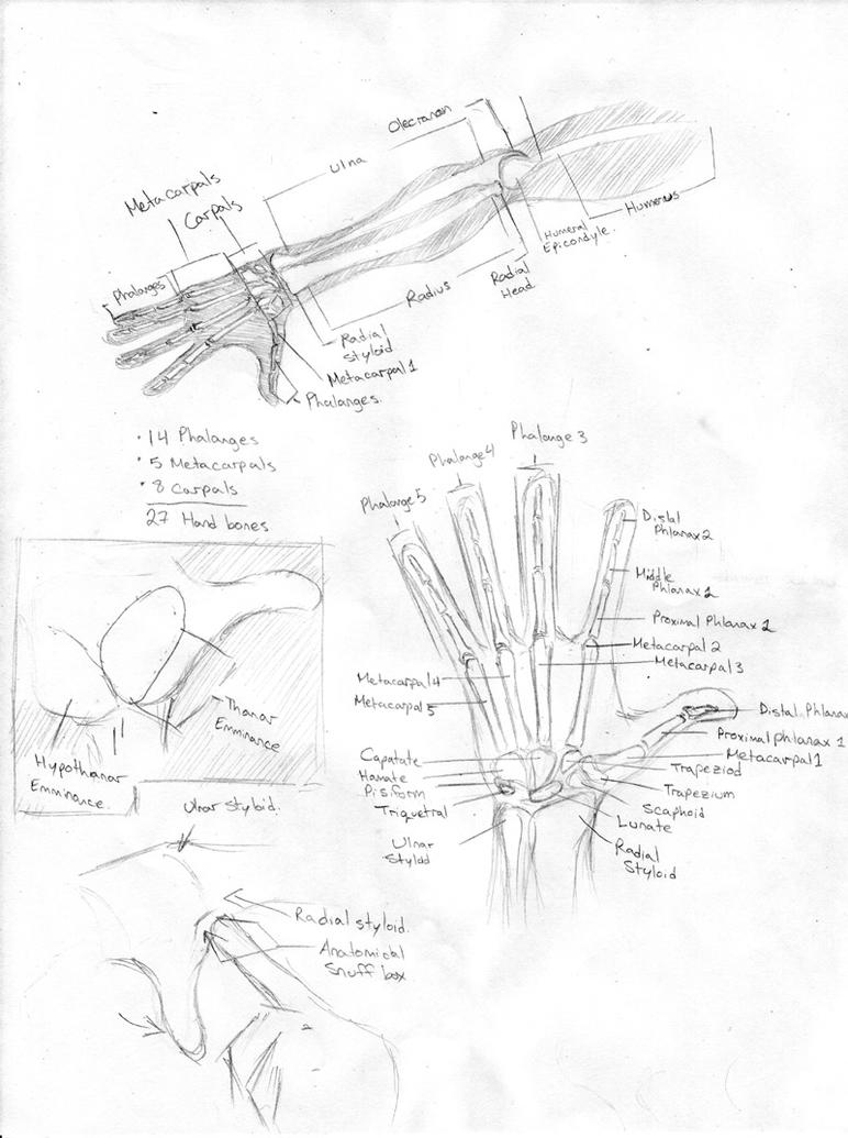 Anatomy-Hand And Forearm by Artist-Guy on DeviantArt