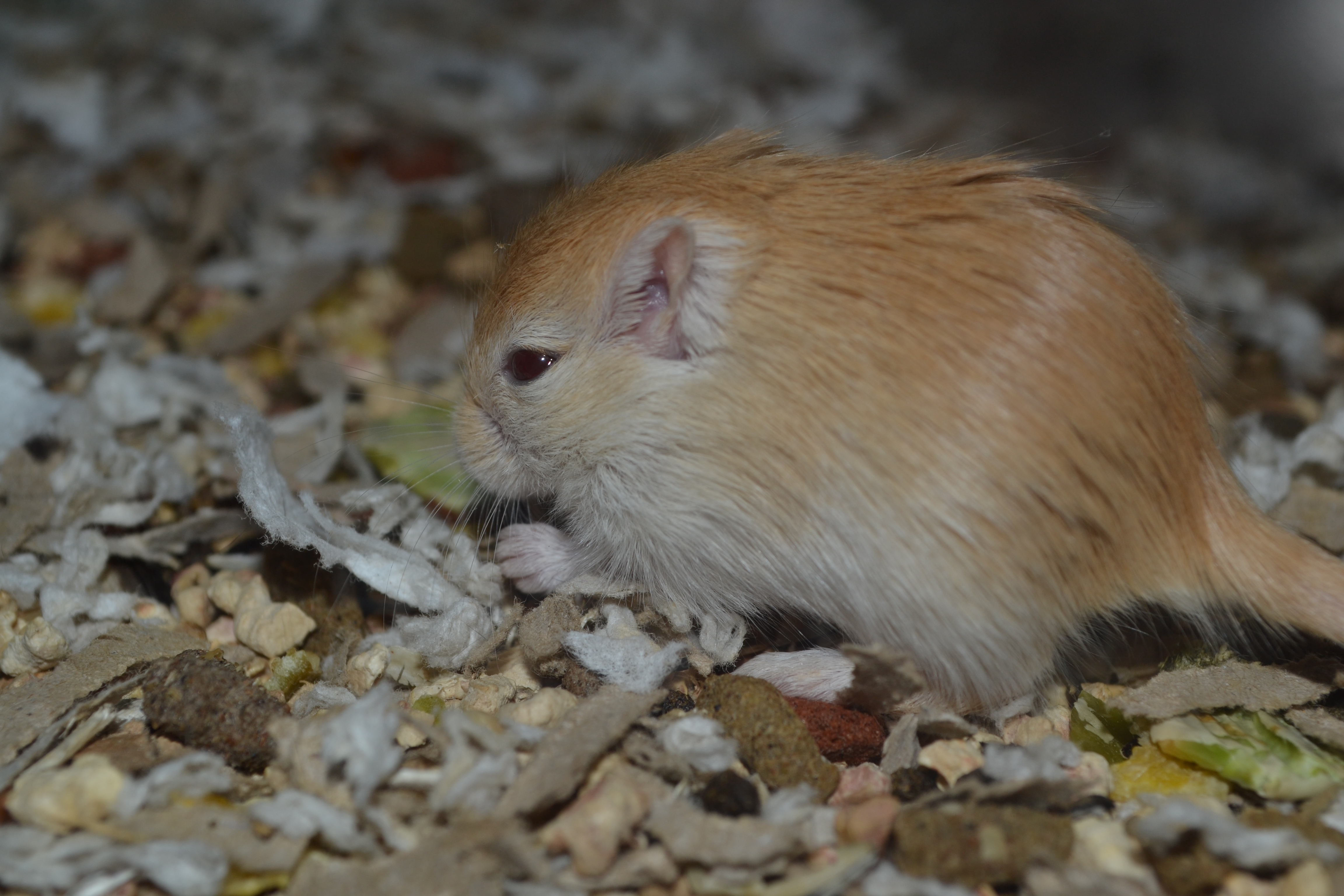 Yellow Fox Gerbil Pup by Spiremagus-Esquire