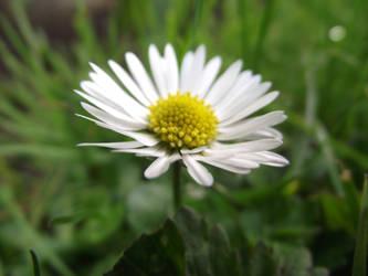 The lone daisy.. by Nerina-Nerina