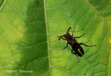 Brown-Beetle by fotoponono