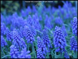 Blue Field by Gandora