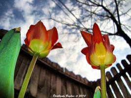 Tulips by BonoArt