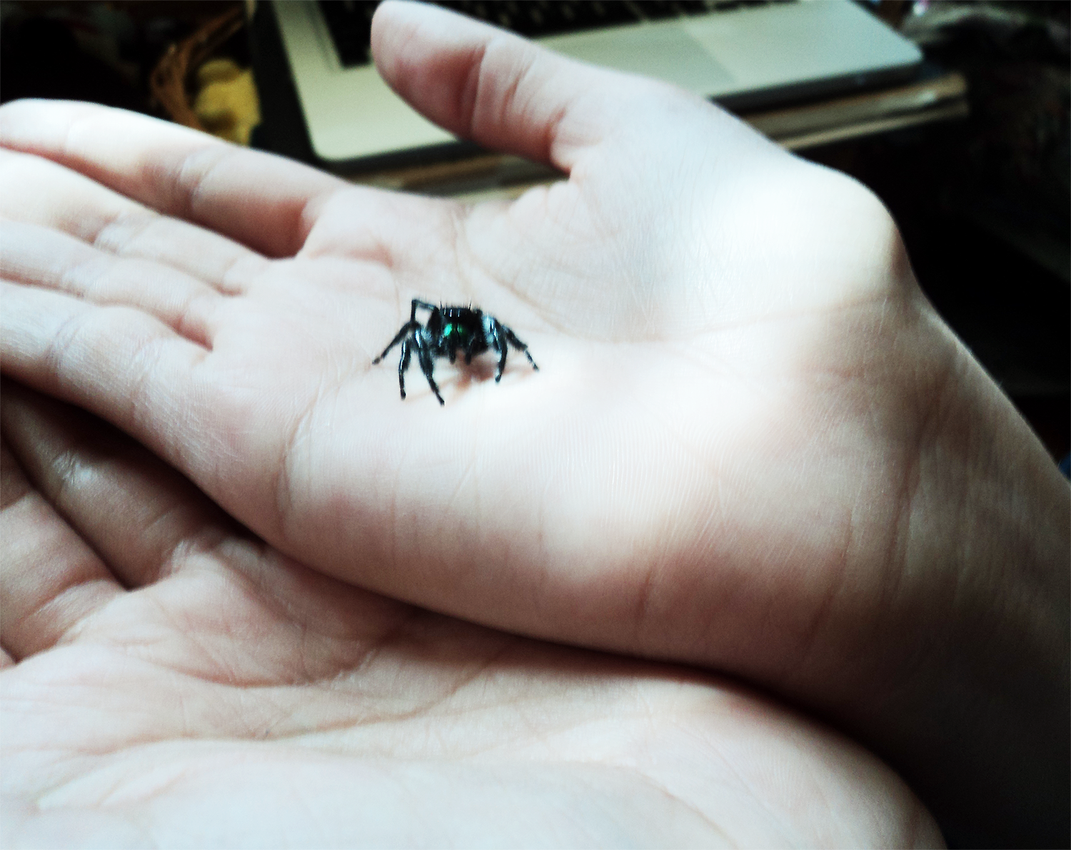Sister's Bold Jumping Spider by The-Clockwork-Crow on DeviantArt
