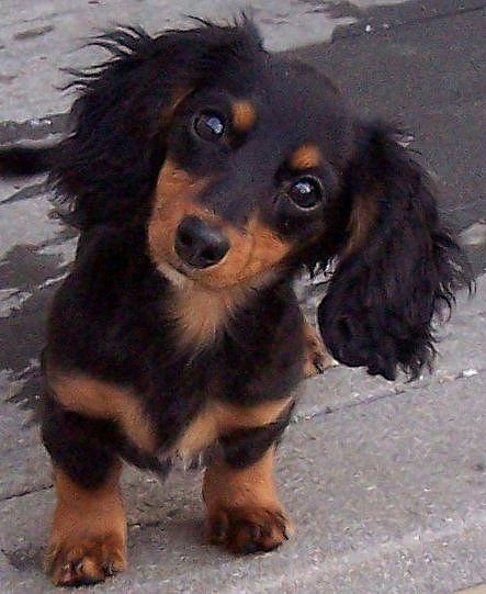Dachshunds Paw With Foxtail In Dog S